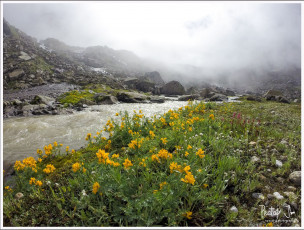 High altitude wild flowers near Hampta Pass