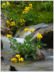 Yellow wild flowers of Kulu region