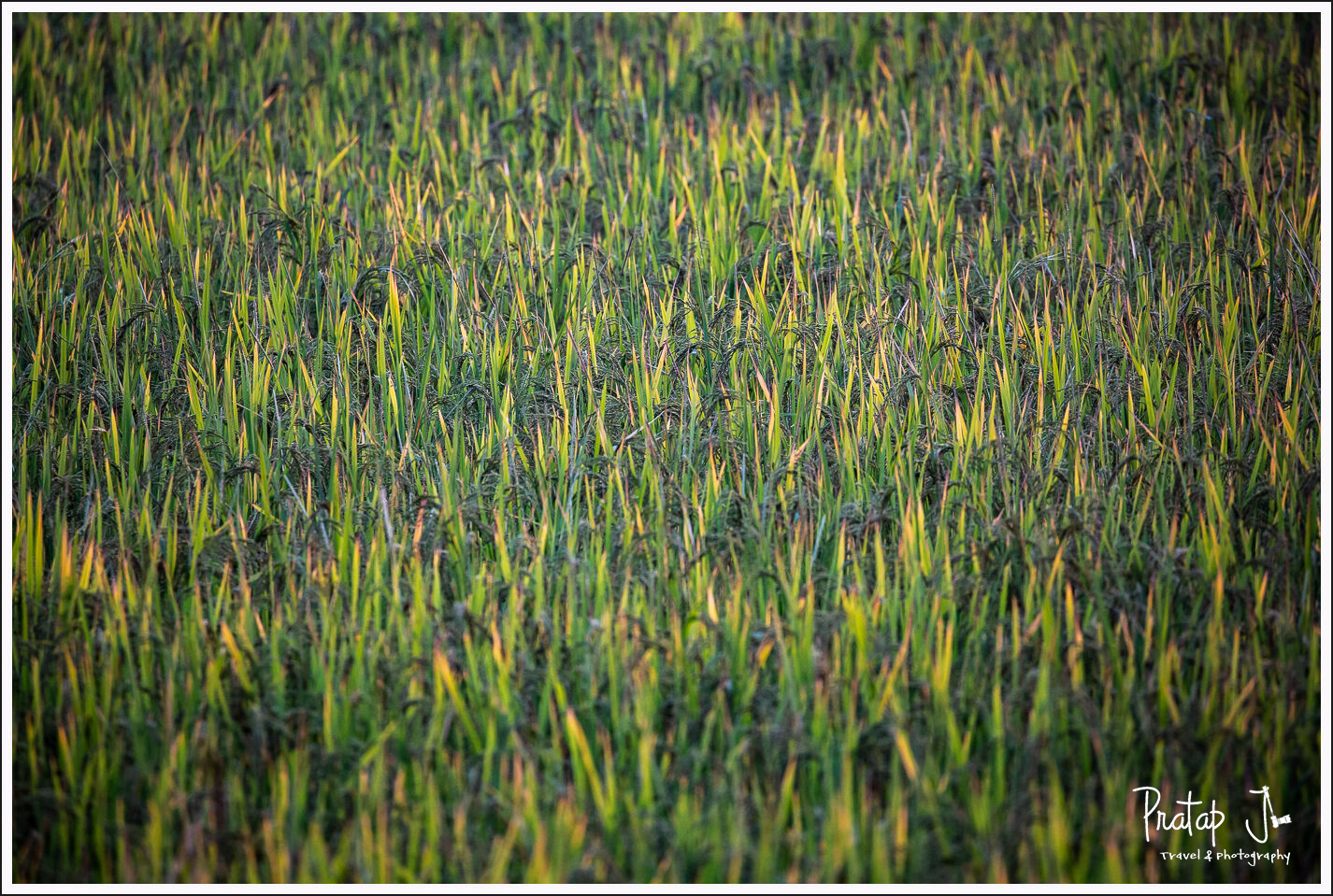 Closeup of paddy crop