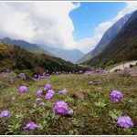 Flowerbed in Yumthang Valley