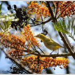 Oriental White Eye at Masinagudi