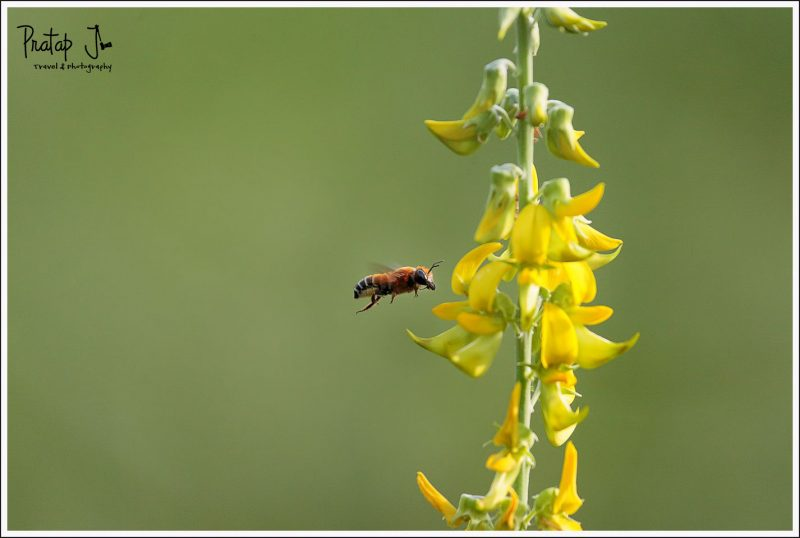 A Hovering Bee