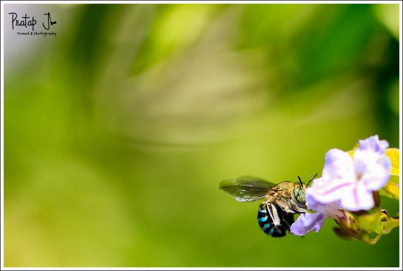 A Blue Banded Bee