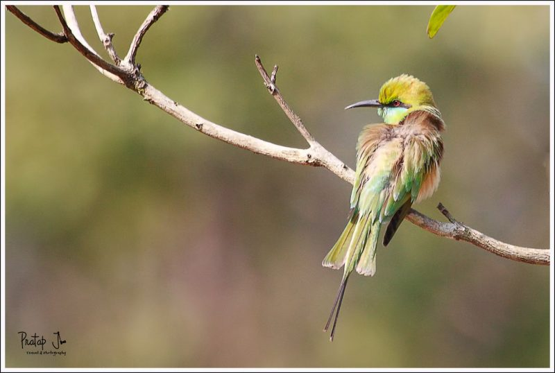 A Bee Eater