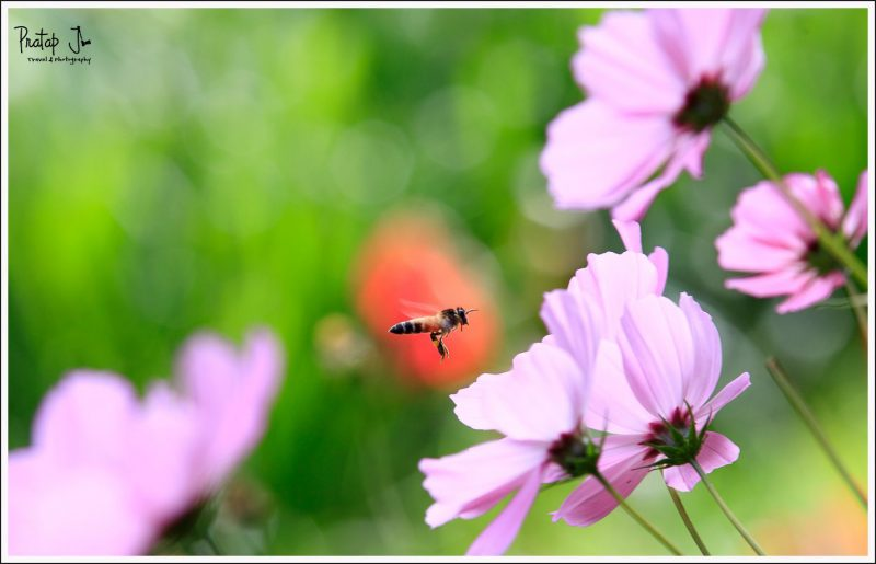 A hovering bee near a ping flower at the Ooty Botanical Garden