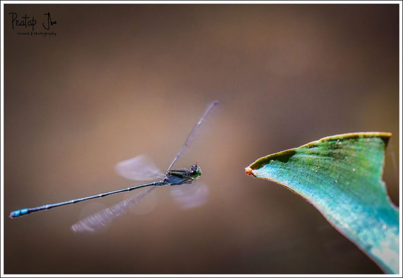 High ISO shot of a damselfly hovering