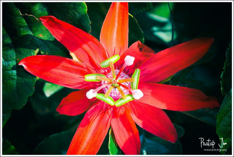 Crimson Passion Flower