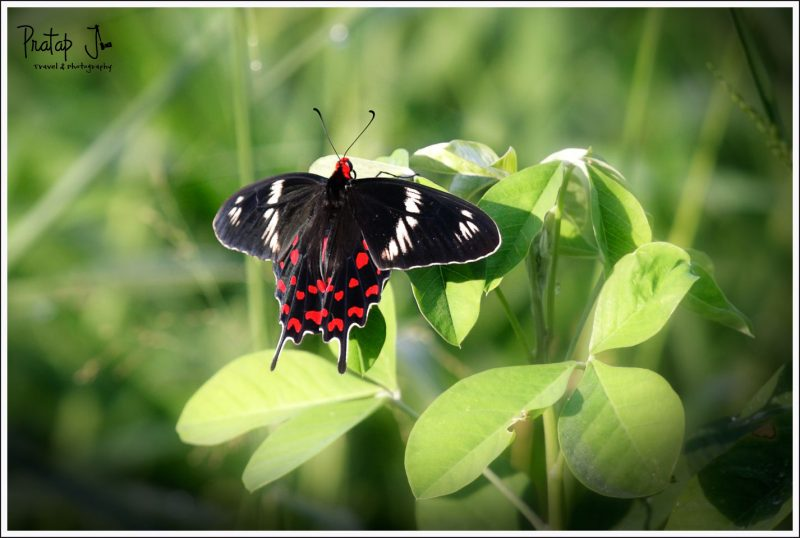 Crimson Rose butterfly at Lalbagh