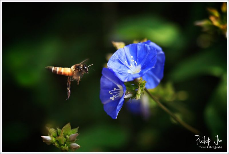 Hovering Bee shot with a macro lens at Lalbagh