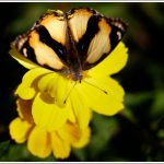 A yellow butterfly on a yellow flower