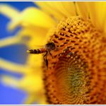 Closeup of a Bee on a Sunflower