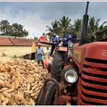 Corn Harvesting at Hassan