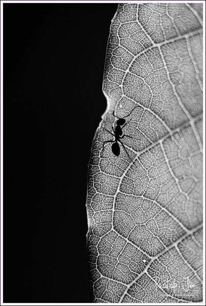 Monochrome of an Ant on a Leaf