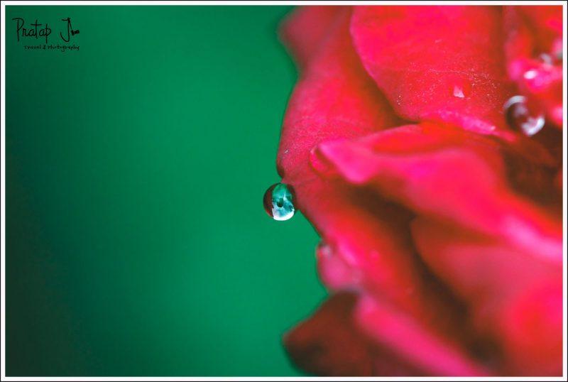 Close up of a dew drop on a rose petal