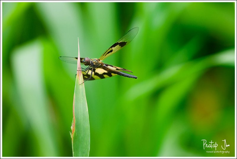 A Dragon Fly in Monsoon