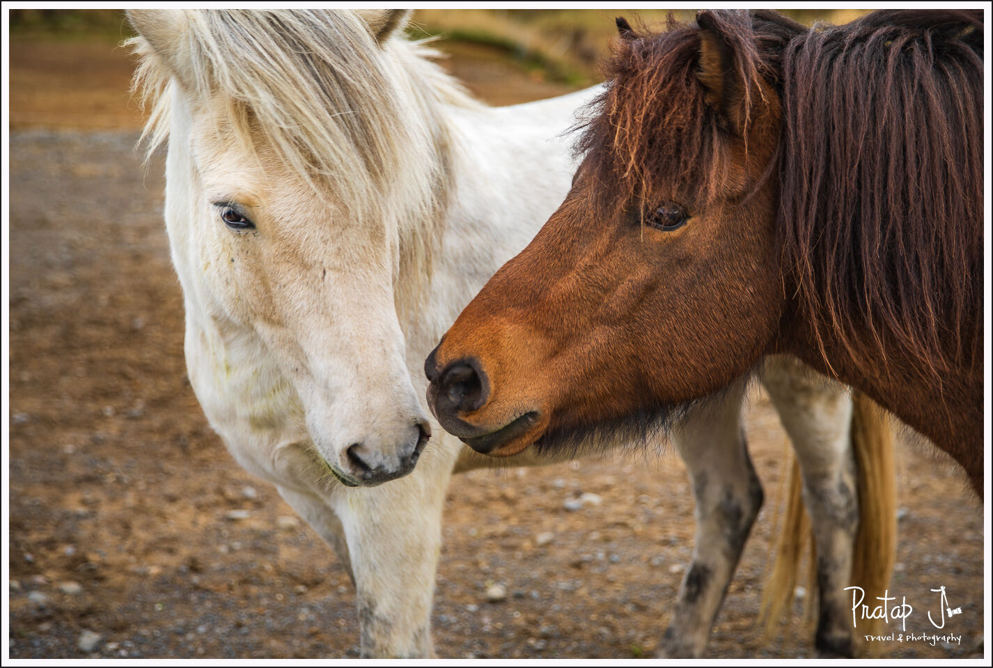Closeup of two Icelandic horses with their faces close to each other