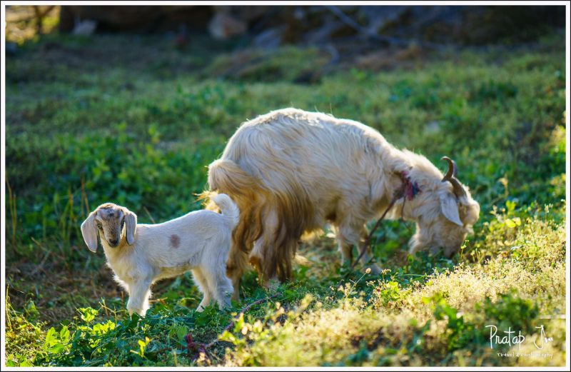 Mother goat and kid