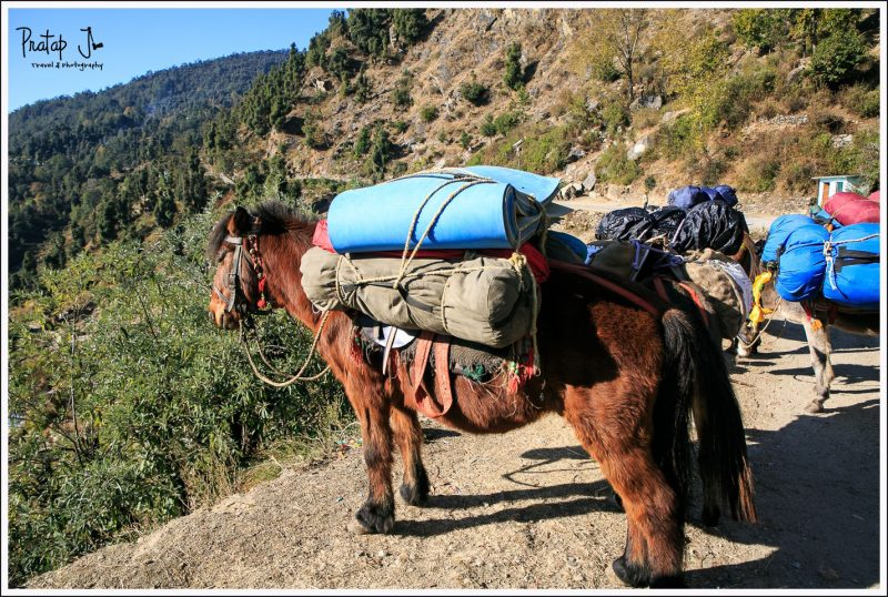 Mules used for transport camping gear