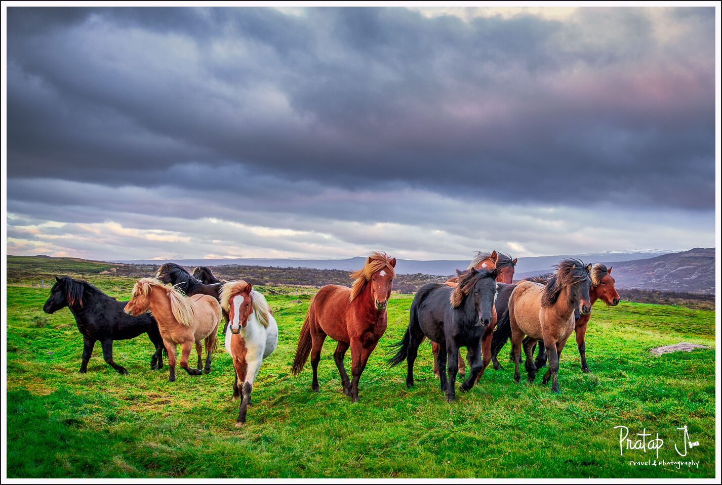A group of colourful Icelandic horses running on green grass under grey skies
