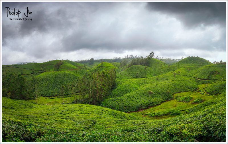Green Tea Gardens in Munnar