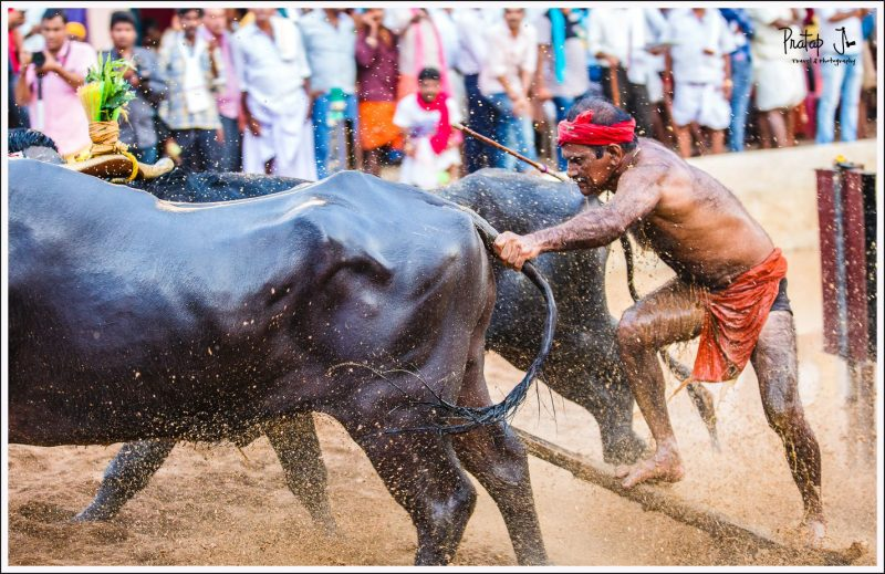 Close up of a man and buffaloes flexing muscles