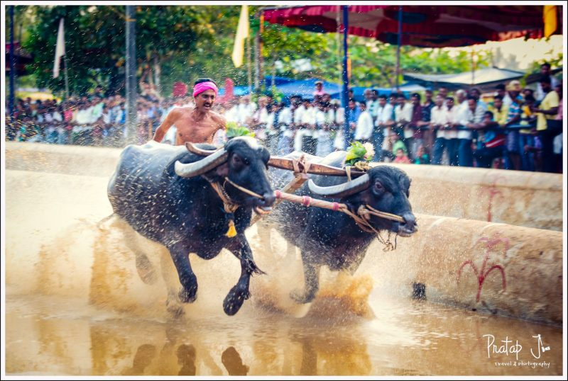 Side view of a man racing with buffaloes