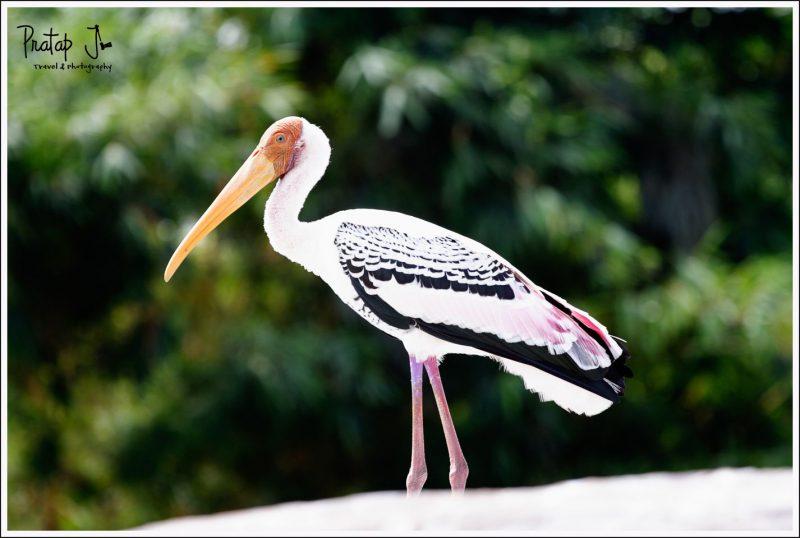 Migratory Painted Stork at Ranganathittu Bird Sanctuary