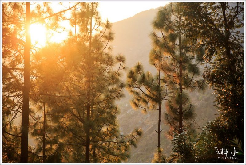 Himalayan Pine Tree Tops
