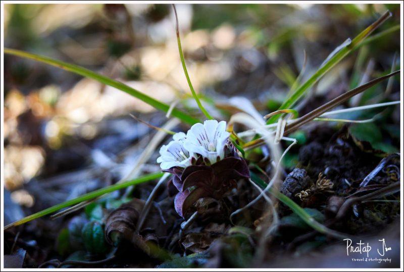 Small Himalayan Flowers