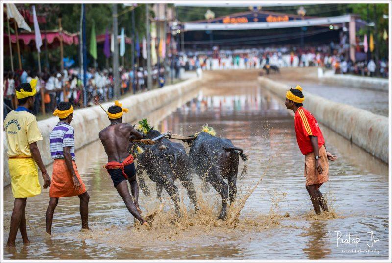 Standing at the start of a Kambala Race