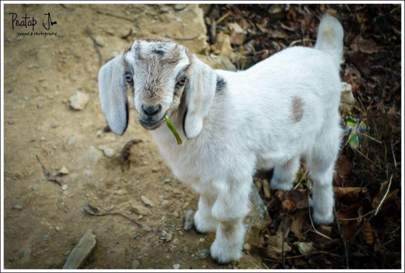 Impish looking goat kid